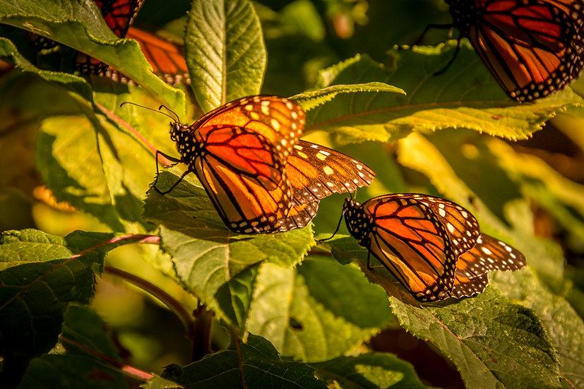 Monarch Butterflies at Rosario 966