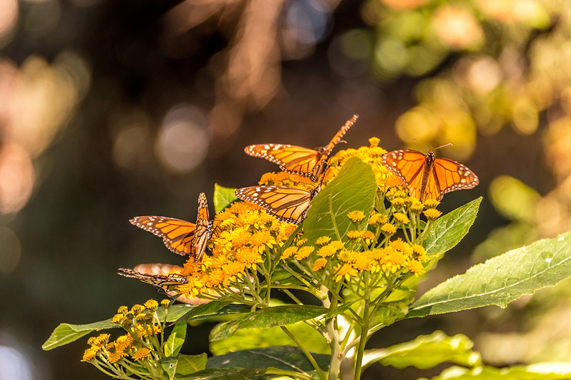 Monarch Butterflies at Rosario 965