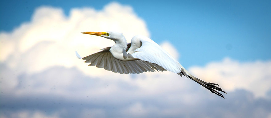 Flying Egret / Garza Voladora 122-B7