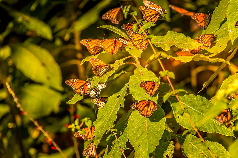 Monarch Butterflies at Rosario 958