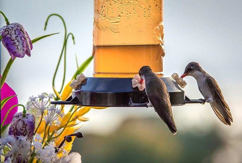 Hummingbirds / Colibris 116
