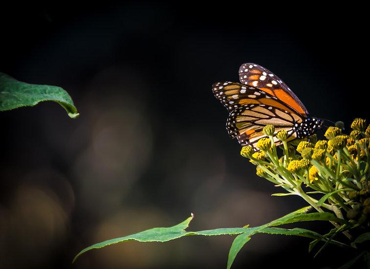 Monarch Butterflies at Rosario 952