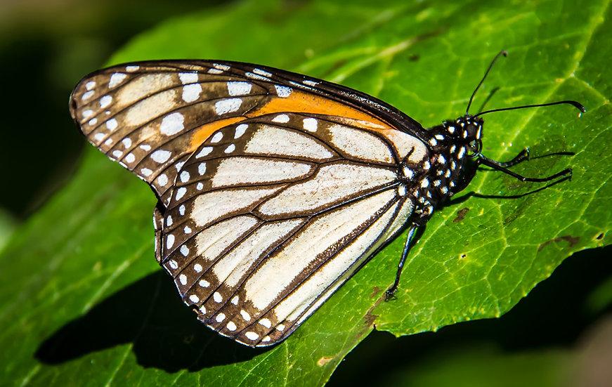 Monarch Butterflies at Rosario 961