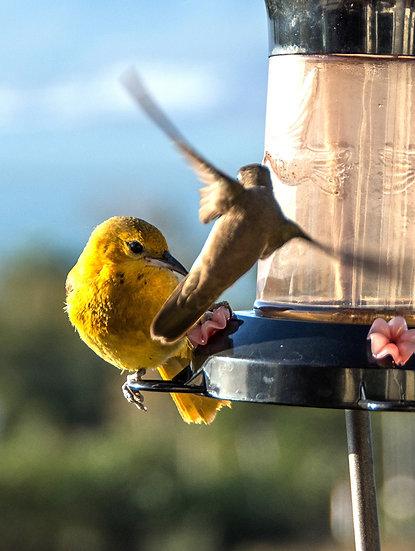 Oriole and Hummingbird / Oriol y Colibri 138-E4