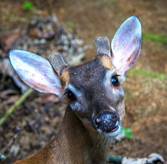 Deer / Ciervo 929