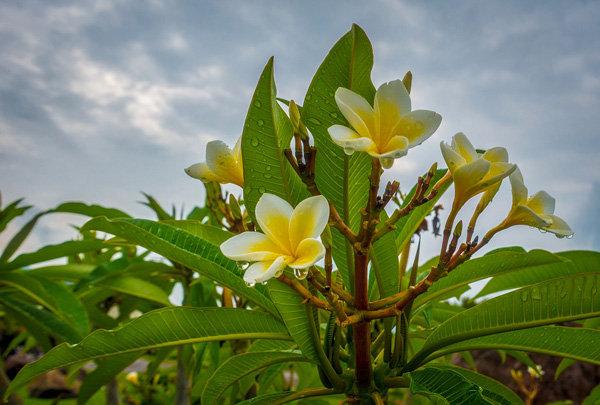 Flowers and blooms in Lake Chapala/Flores y flores en el lago de Chapala 548-F8