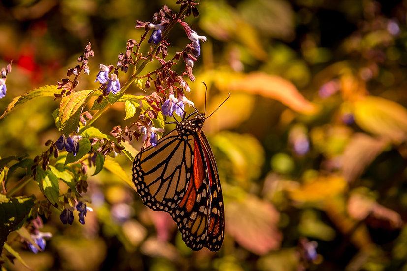 Monarch Butterflies at Rosario 973