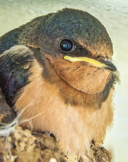 Critical Looking Swallow / Golondrina de Aspecto Critico 142-E7