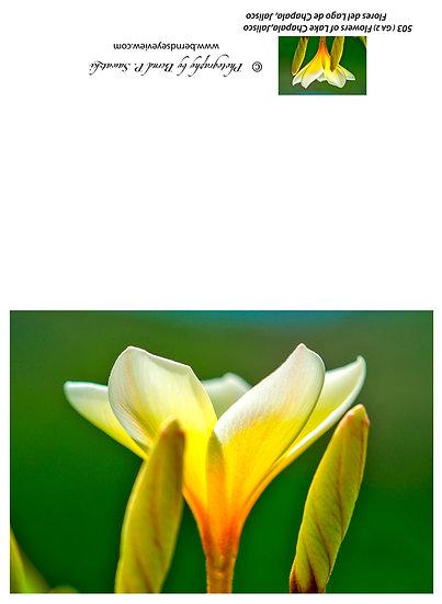 Flowers and blooms, Lake Chapala/ Flores y flores en el lago de Chapala 503-Ga2