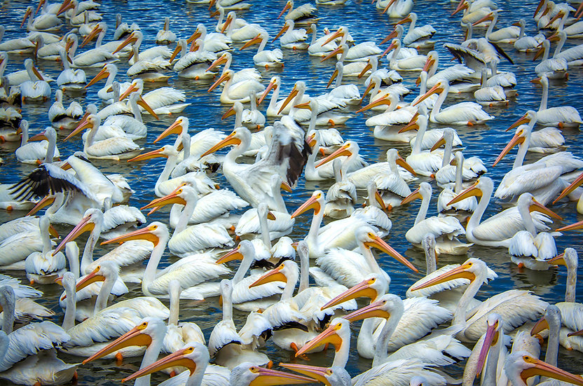 Group meeting of Pelican's / Reunión grupal de Pelicanos 121-B6