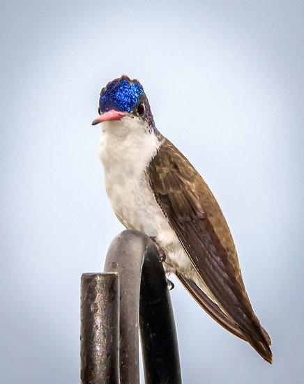Blue Head Hummingbird / Cabeza Azul Colibrí 128