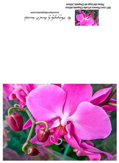 Flowers and blooms, Lake Chapala/ Flores y flores en el lago de Chapala 507-Gd4