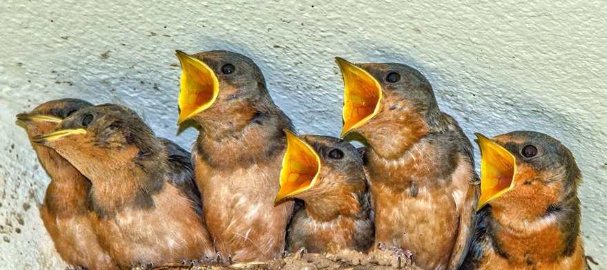 Hungry Swallows / Golondrinas Hambrientas 123-E1