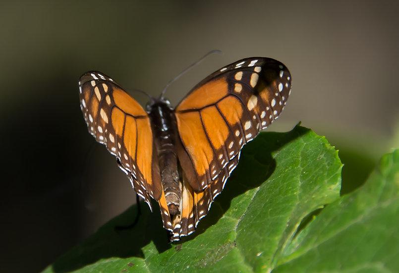 Monarch Butterflies at Rosario 962