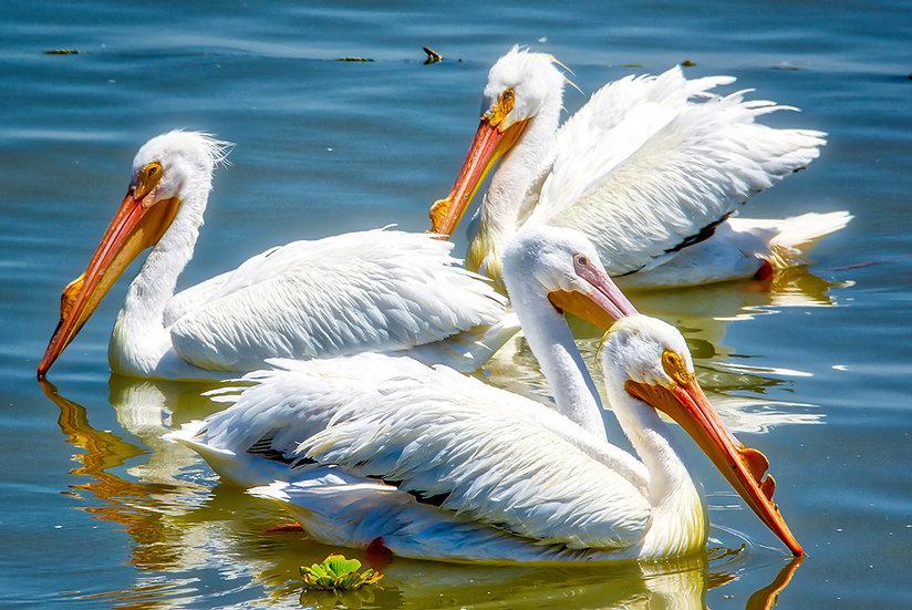 Pelican's in Petatan/Michoacan 117-B8