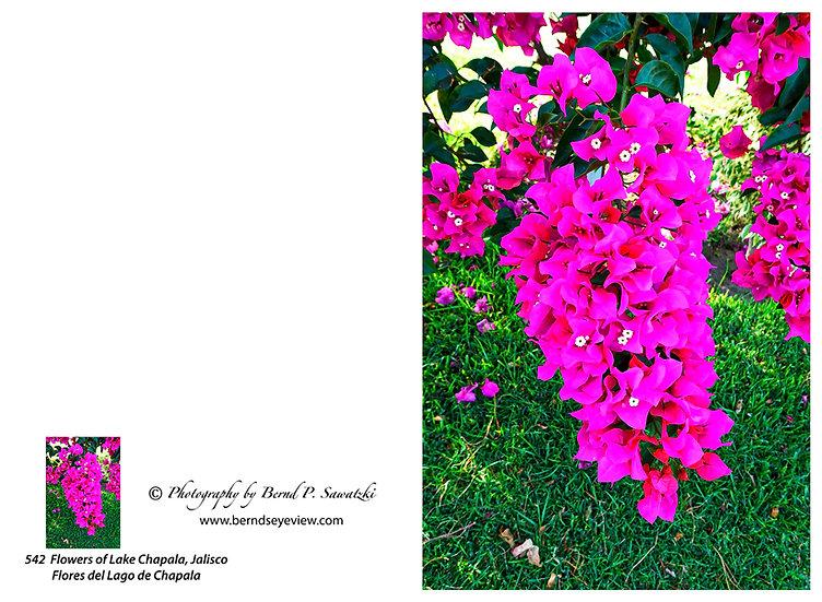 Flowers and blooms in Lake Chapala/ Flores y flores en el lago de Chapala 542