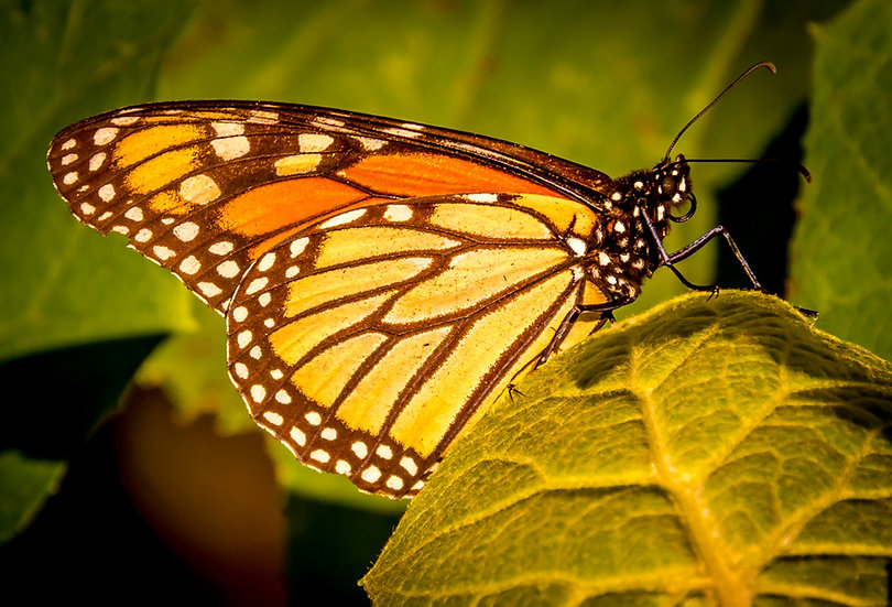 Monarch Butterflies at Rosario 963