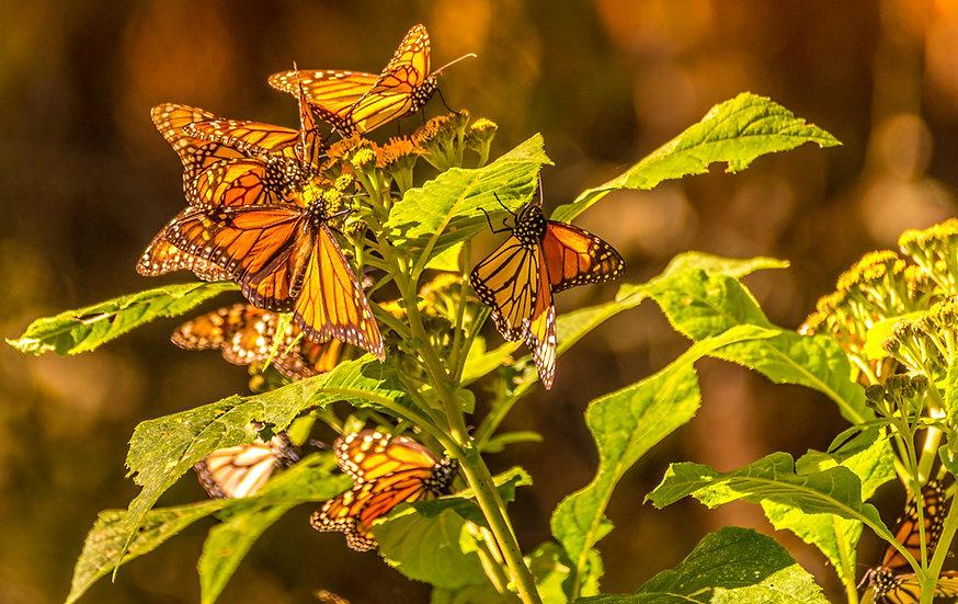 Monarch Butterflies at Rosario 971