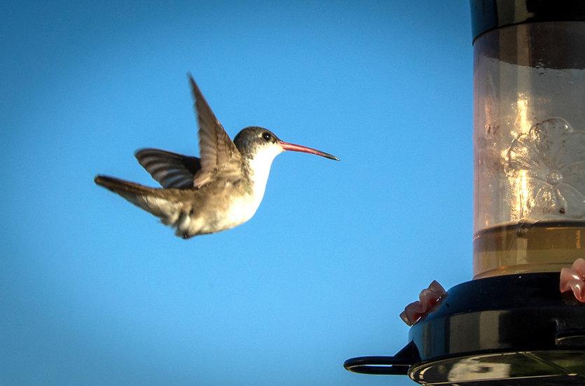 Hummingbird / Colibri 157