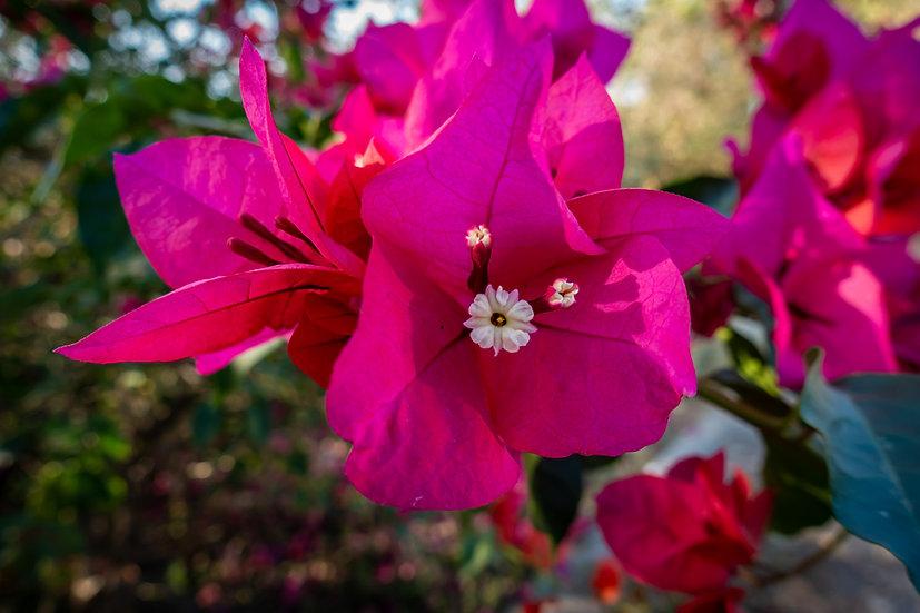 Flowers and blooms in Lake Chapala/Flores y flores en el lago de Chapala 546A