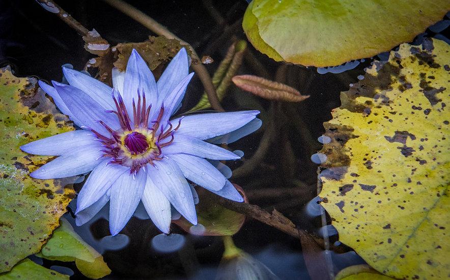 Flowers and blooms in Lake Chapala/Flores y flores en el lago de Chapala 534A