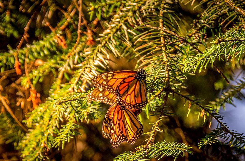Monarch Butterflies at Rosario 953