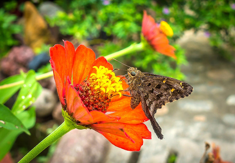 Butterfly / Mariposa 908