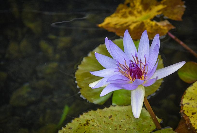 Flowers and blooms in Lake Chapala/Flores y flores en el lago de Chapala 536A