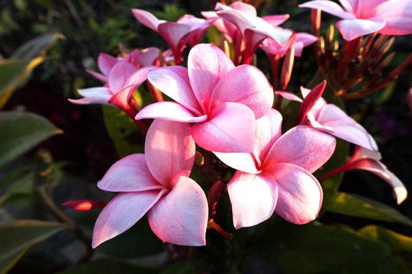 Flowers and blooms in Lake Chapala/ Flores y flores en el lago de Chapala 521