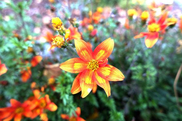 Flowers and blooms in Lake Chapala/ Flores y flores en el lago de Chapala 540
