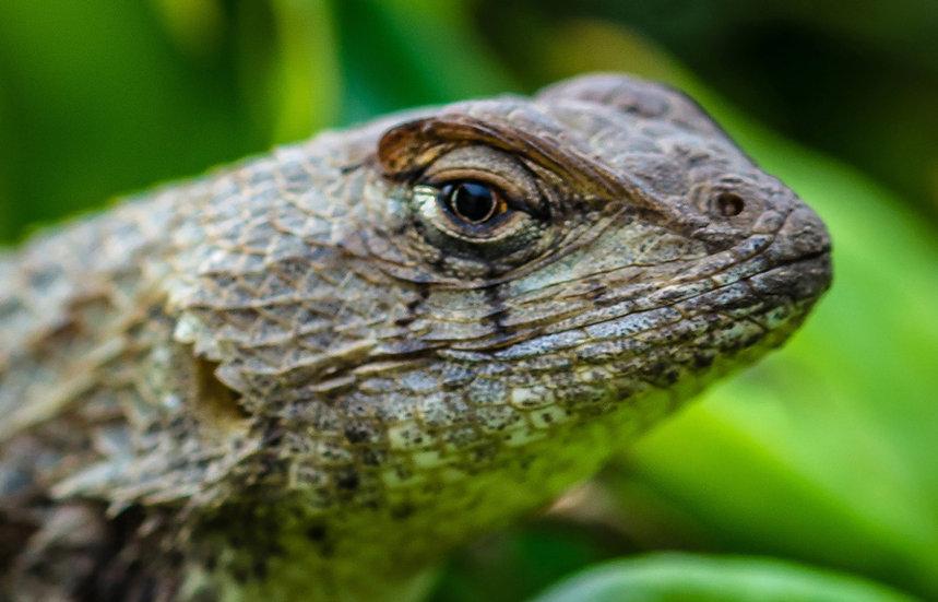 Iguana 911