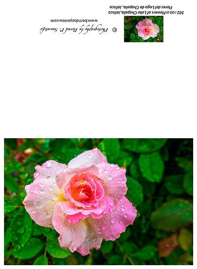 Flowers and blooms, Lake Chapala/ Flores y flores en el lago de Chapala 502-Gd2