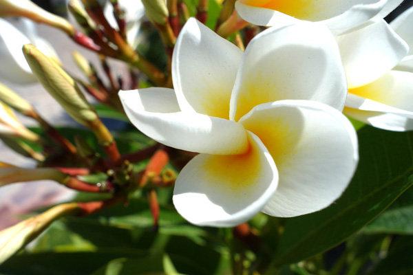 Flowers and blooms in Lake Chapala/ Flores y flores en el lago de Chapala 527