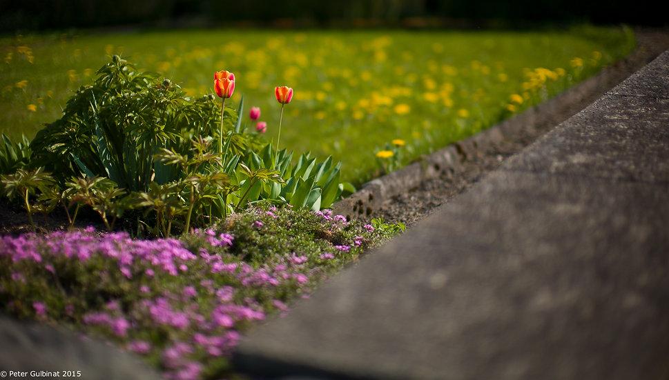 Noctilux Tulips