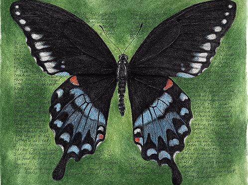 Papilio troilus, female 8x120 Limited Edition Print