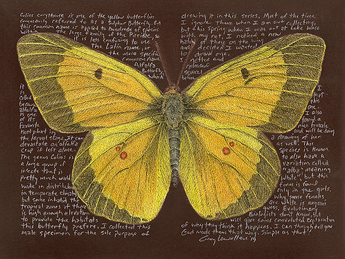Colias eurytheme 8x10 Limited Edition Print