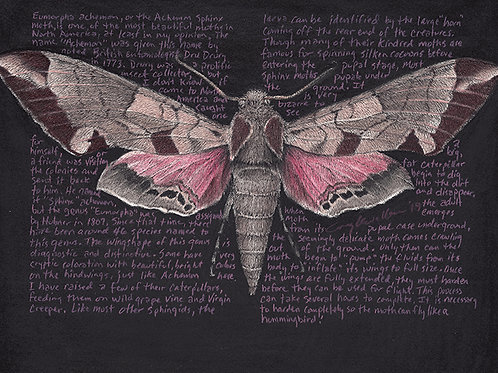 "Eumorpha achemon 8x10"" Limited Edition Print"