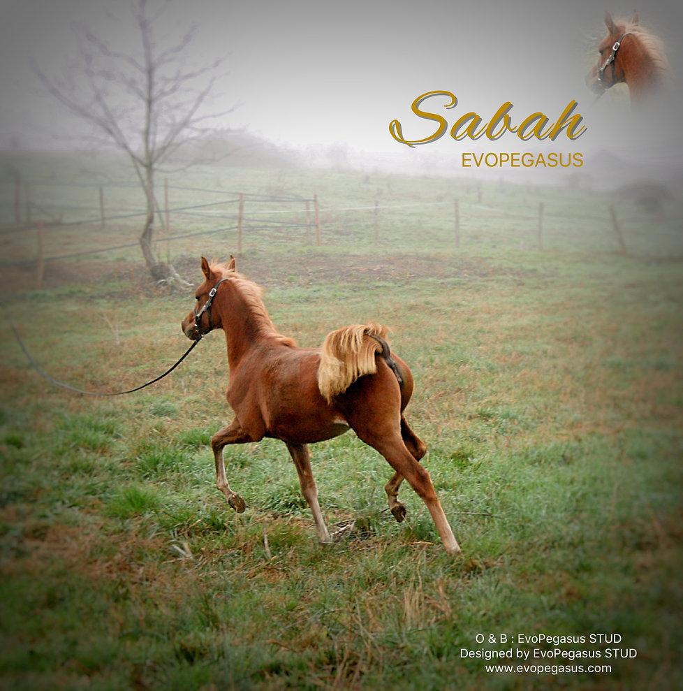 SABAH EVOPEGASUS Arabian Filly 2018 Owner & Breeder : EvoPegasus STUD