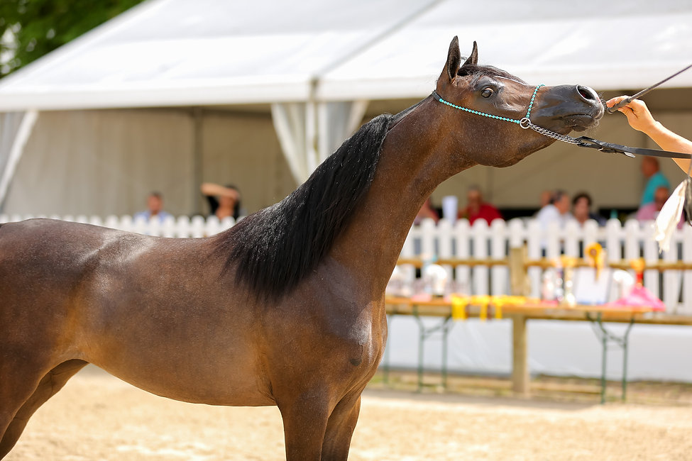 PSYCHE LEJLA by POGROM out of PSYCHE KREUZA / Ekstern, Grey Arabian Filly 2017 - ECAHO B INT - 5th in Class Yearling Filly - Nordic Open Denmark Show - 16/17 June 2018 Owner : EvoPegasus Breeder : SK Chrcynno Palac Crédit Photo :  Laetitia Lautent, Trainer : TK Arabian Center Tomasz Kotynski