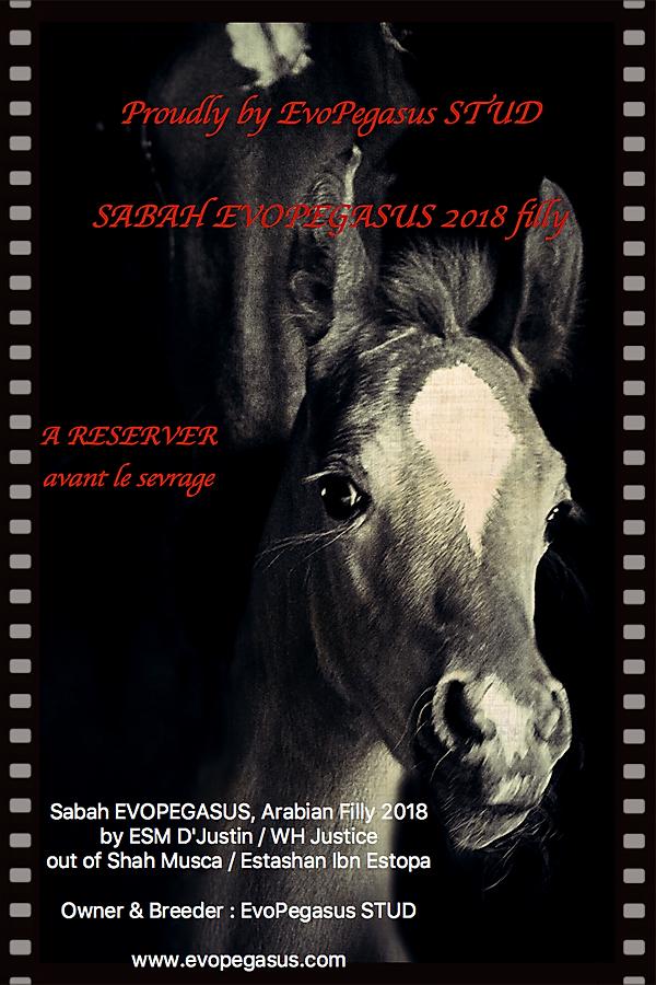 SABAH EVOPEGASUS A RESERVER, Arabian Filly 2018, Owner & Breeder : EvoPegasus STUD