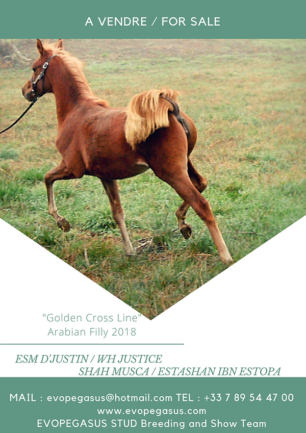 SABAH EVOPEGASUS FOR SALE, A VENDRE, PEDIGREE D'EXCEPTION, AMAZING MOVER, SHOW, ARABIAN HORSE