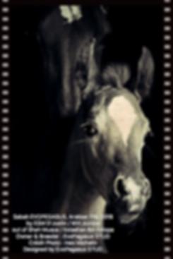 SABAH EVOPEGASUS Arabian Filly 2018, Owner & Breeder EvoPegasus STUD
