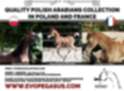EvoPegasus STUD, QUALITY POLISH ARABIANS COLLECTION IN POLAND AND FRANCE