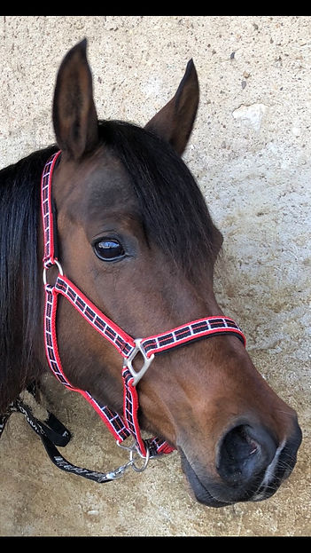 Shah Musca, Bai Arabian Mare, Owner: EvoPegasus, Breeder: Haras Shah Arabians, Elevage Cheval Arabe, QUALITY ARABIANS COLLECTION in POLAND and FRANCE