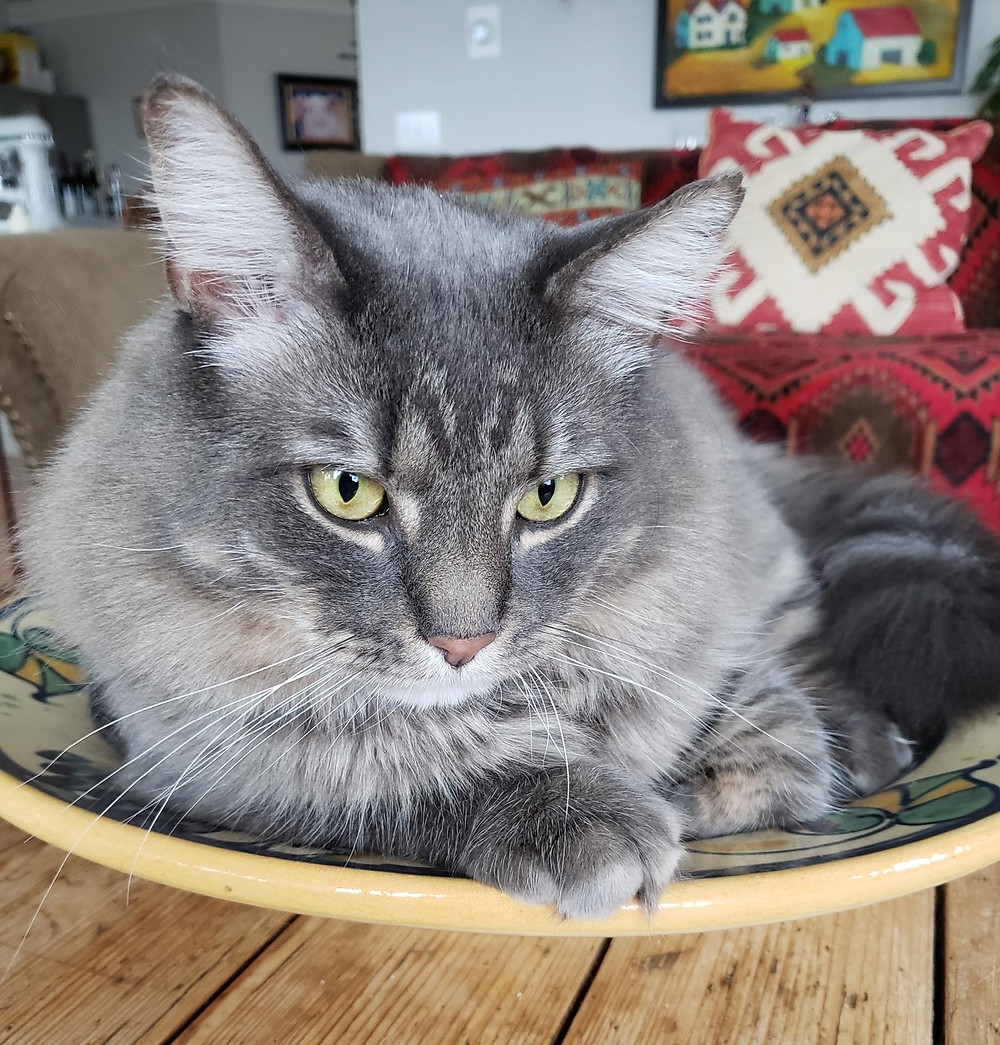 Grey cat in a bowl