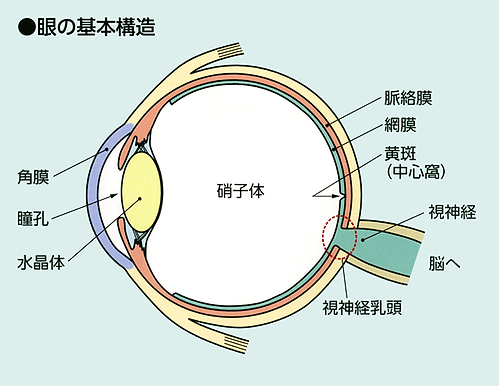 眼の基本構造図解画像