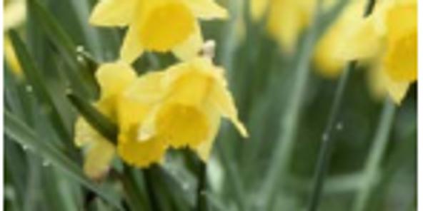 Daffodil Valley, Farndale