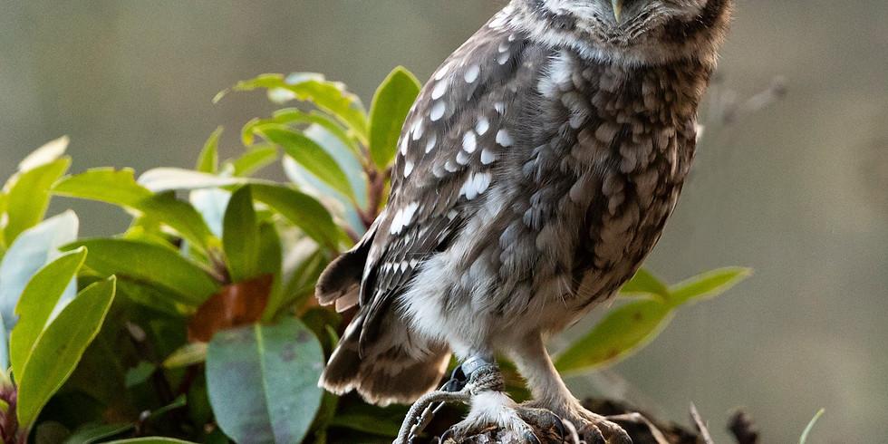 Bird of Prey/Owls at Swinton Park
