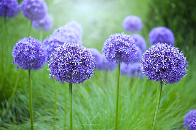 close-up-image-of-the-summer-flowering-bulbous-royalty-free-image-931820550-1542831041_edited.jpg