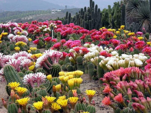 Field grown trichocereus with mixed colors